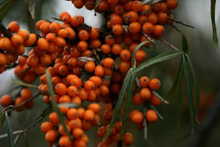 Seabuckthorn – The Oil For All Skin Types – And A Homemade Recipe For A Healing Acne Serum