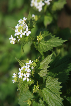 Nettles for Health and Nutrition