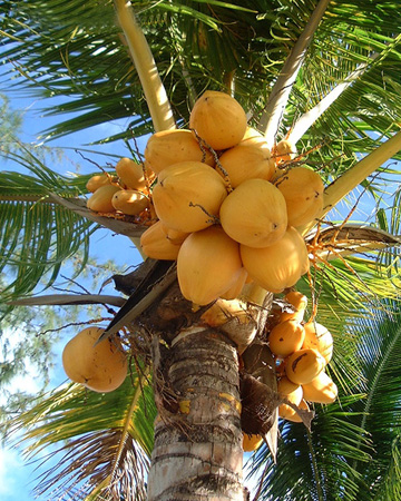Fresh Young Coconuts for Coconut Water Kefir