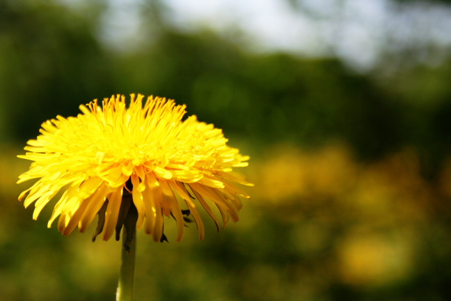 Raw Food Recipes and Health: 20 Reasons to Eat Dandelion & 2 Recipes to Help You Do It