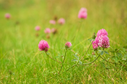 Herbal Health Recipes: 3 Easy Ways to Get the Benefits of Red Clover Blossoms This Summer