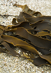 kelp, sea vegetables, benefits
