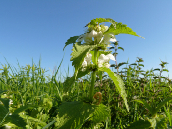 Stinging Nettles for Natural Beauty and Health