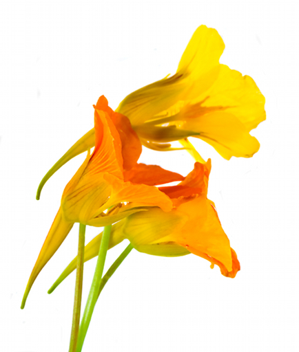 Yellow flowers names and pictures easy yellow spring find this pin yellow orange flowers names yellow amp orange ediblenames of yellow orange flowers mightylinksfo